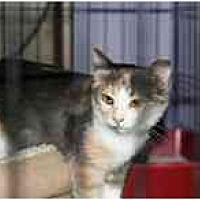 Calico Cat for adoption in Garland, Texas - Matilda