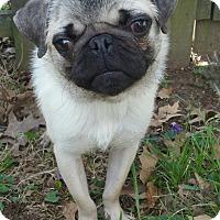 Adopt A Pet :: Pudge-Adoption pending - Bridgeton, MO