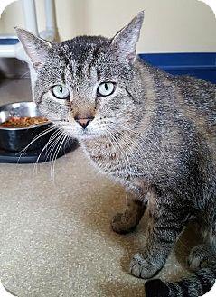 Domestic Shorthair Cat for adoption in Salisbury, Massachusetts - Tuba