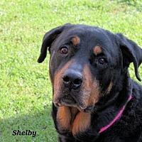 Adopt A Pet :: Shelby - Oklahoma City, OK