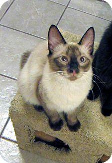Siamese Cat for adoption in Long Beach, California - Liam
