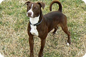 American Pit Bull Terrier Dog for adoption in Ridgely, Maryland - Dixie