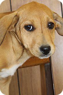 Beagle/Labrador Retriever Mix Puppy for adoption in Bedminster, New Jersey - Ellie Mae