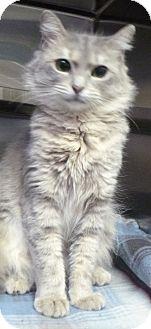 Domestic Mediumhair Cat for adoption in St. Petersburg, Florida - Eureka