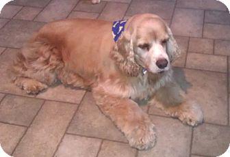 Cocker Spaniel Dog for adoption in Richmond, Virginia - Freckles