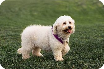 Bichon Frise Dog for adoption in Sinking Spring, Pennsylvania - Maddie