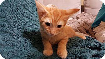 Domestic Shorthair Kitten for adoption in McDonough, Georgia - Glory