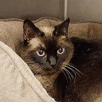Siamese Cat for adoption in Lago Vista, Texas - Lucy