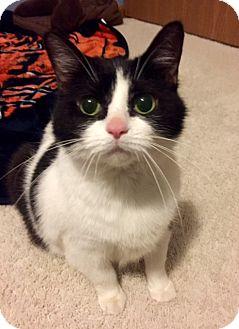 Domestic Mediumhair Cat for adoption in Palatine, Illinois - Cupcake