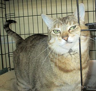 Domestic Shorthair Cat for adoption in Reeds Spring, Missouri - Pepsi