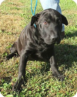 Shar Pei/Chow Chow Mix Puppy for adoption in Reeds Spring, Missouri - Tubbs