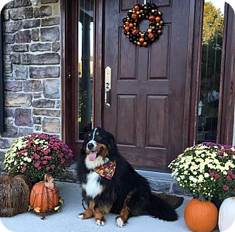 Bernese Mountain Dog Dog for adoption in Westtown, Pennsylvania - Claire