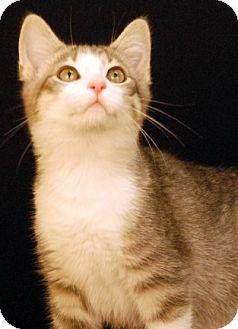 Domestic Shorthair Cat for adoption in Newland, North Carolina - Balsam