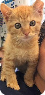 Domestic Shorthair Kitten for adoption in McDonough, Georgia - Noodle