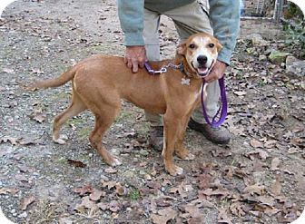 Labrador Retriever/Terrier (Unknown Type, Medium) Mix Dog for adoption in Alstead, New Hampshire - Olive