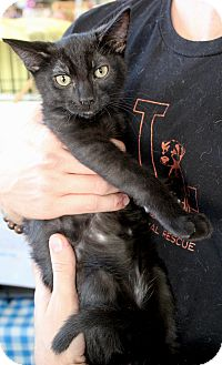 Domestic Shorthair Kitten for adoption in Los Angeles, California - Winston