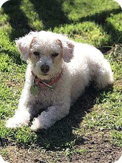 Poodle (Miniature)/Maltese Mix Dog for adoption in Santa Monica, California - Pebbles