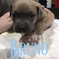 Adopt A Pet :: Bruno - Cheney, KS
