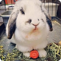 Adopt A Pet :: Lilly (rabbit) - Portland, IN