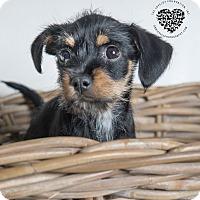 Adopt A Pet :: Heidi - Inglewood, CA