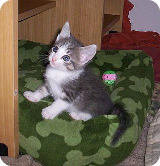 Domestic Shorthair Kitten for adoption in Orlando, Florida - Whitney