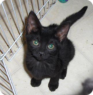 Domestic Shorthair Kitten for adoption in Richmond, Virginia - Browny