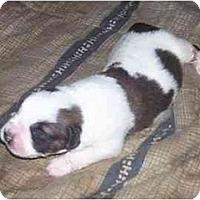 Adopt A Pet :: Saint pups - Chandler, IN