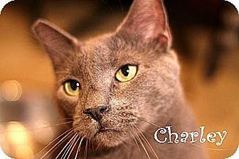 Domestic Shorthair Cat for adoption in Wichita Falls, Texas - Charkey