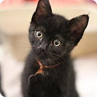 Adopt A Pet :: Brutus Beefcake - Sacramento, CA