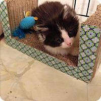 Adopt A Pet :: Turnip - Stafford, VA