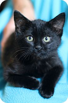 Domestic Shorthair Kitten for adoption in New Prague, Minnesota - Whimsy