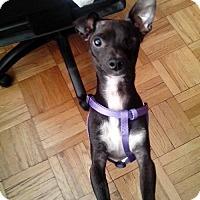 Chihuahua Mix Dog for adoption in Whitestone, New York - Kilo