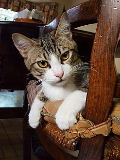 Domestic Shorthair Cat for adoption in Monrovia, California - Luke