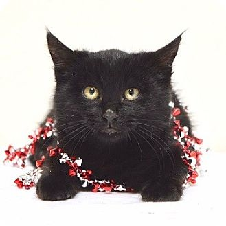 Domestic Shorthair Kitten for adoption in Dublin, California - Barley