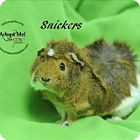 Adopt A Pet :: Snickers - Topeka, KS