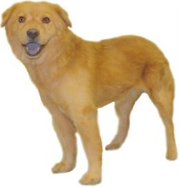 Chow Chow/Cocker Spaniel Mix Dog for adoption in Inverness, Florida - Baby Girl C.