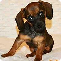 Adopt A Pet :: Baby Ruth - San Jose, CA