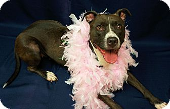 American Pit Bull Terrier Mix Dog for adoption in North, Virginia - Suge