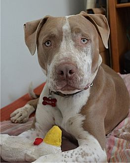 Pit Bull Terrier/American Staffordshire Terrier Mix Dog for adoption in Los Angeles, California - Rudy