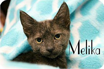Domestic Shorthair Kitten for adoption in Wichita Falls, Texas - Melika