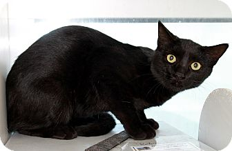 Domestic Shorthair Cat for adoption in Edgewood, New Mexico - Night Train