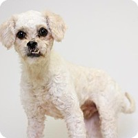 Poodle (Miniature) Dog for adoption in Edina, Minnesota - Newman D161677