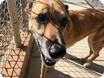 German Shepherd Dog Mix Dog for adoption in Edgewood, New Mexico - Kyle