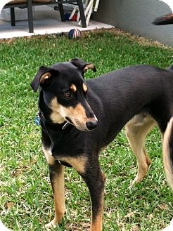 Doberman Pinscher Mix Dog for adoption in Tavares, Florida - Dodger