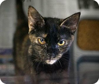 Domestic Shorthair Cat for adoption in Chesapeake, Virginia - Blossom & Pandora