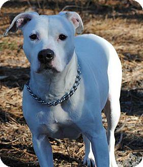 Boxer Mix Dog for adoption in Tinton Falls, New Jersey - Uma