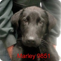 Adopt A Pet :: Marley - Greencastle, NC