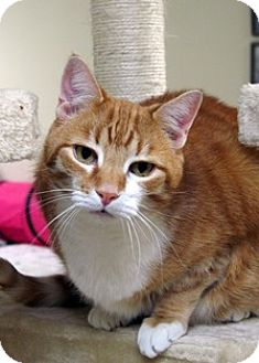 Domestic Shorthair Cat for adoption in Norwalk, Connecticut - Mikan