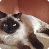 Adopt A Pet :: Tomasso - Davis, CA