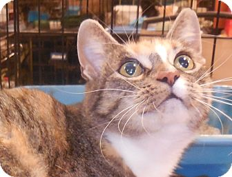 Domestic Shorthair Cat for adoption in Whiting, Indiana - Sweet Potato